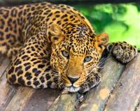 Картина по номерам 40*50 см, Грустный леопард